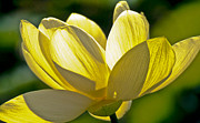 Water Lilly Photos - Lotus Flower by Heiko Koehrer-Wagner