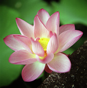 Pink Photos - Lotus Flower by Yoshika Sakai