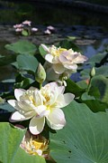 Lotus Pond Paintings - Lotus in Bright Sunlight by John Lautermilch