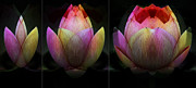 Lotus Flower Posters - Lotus in Transition Poster by Wayne Sherriff