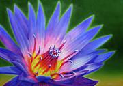 Lotus Print by Jurek Zamoyski