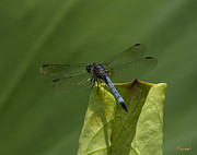 Nature Study Photo Prints - Lotus Leaf and Blue Dasher Dragonfly DL058 Print by Gerry Gantt