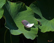 Nature Study Photo Prints - Lotus Leaf--Castoff i DL073 Print by Gerry Gantt