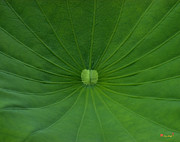 Nature Study Photo Prints - Lotus Leaf--Radiations DL026 Print by Gerry Gantt
