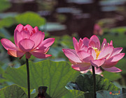 Nature Study Photo Prints - Lotus Pair 24M Print by Gerry Gantt