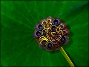 Lotus Seed Pod Framed Prints - Lotus Pod Framed Print by Chris Lord