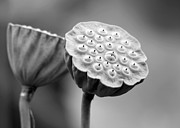 Lotus Seed Pod Prints - Lotus Pods in Black and White Print by Sabrina L Ryan