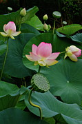 Lotus Bud Prints - Lotus Pond View A Print by Byron Varvarigos