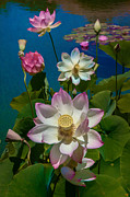 Lotus Lily Posters - Lotus Pool Poster by Chris Lord