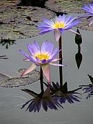 Purple Floral Framed Prints - Lotus Reflection 4 Framed Print by David Dunham