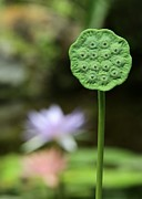Lotus Seed Pod Posters - Lotus Seed Pod in the Lily Pond Poster by Sabrina L Ryan
