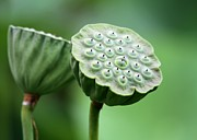 Vero Posters - Lotus Seed Pods Poster by Sabrina L Ryan