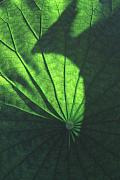Lotus Leaf Prints - Lotus shadow of phoenix Print by Lian Wang