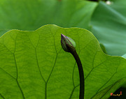 Lotus Buds - Lotus-Sheltering the Future DL032 by Gerry Gantt