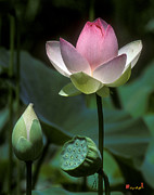 Nature Study Posters - Lotus--Stages of Life i 24Q Poster by Gerry Gantt