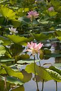 Lotus Standing Tall Print by Dina Calvarese