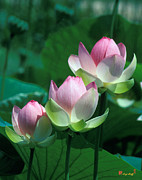 Stepping Stones Prints - Lotus--Stepping Stones 24P Print by Gerry Gantt
