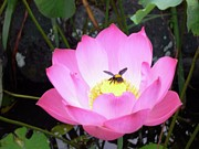 Brow Posters - Lotus with Bee Poster by Alexandra Florschutz