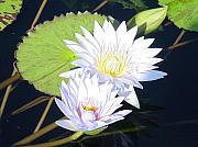 Lotuses Framed Prints - Lotuses with Lily Pad Framed Print by Ward Smith