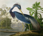 Coloured Engraving Posters - Louisiana Heron Poster by John James Audubon
