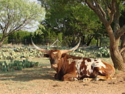 Texas Longhorn Digital Art - Lounging Longhorn by Linda Cox