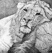 Lion Drawings - Lounging by Sheena Pike