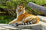 The Tiger Originals - Lounging Tiger by Michael Austin