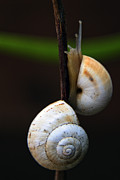 Mollusk Framed Prints - Love Affair Framed Print by Stylianos Kleanthous