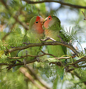 Rosy-faced Lovebird Posters - Love birds Poster by Christian Heeb