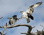 Osprey Prints Framed Prints - Love Hurts Framed Print by LaMarre Labadie