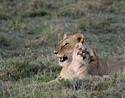 Lions Photo Prints - Love in the Masai Mara Print by Marion McCristall