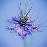Spiney Posters - Love In The Mist Flower (nigella Sp.) Poster by Cristina Pedrazzini