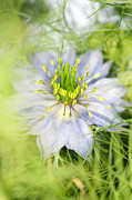 Spiney Posters - Love In The Mist Flower (nigella Sp.) Poster by Lawrence Lawry