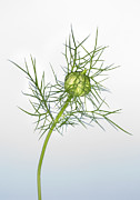 Spiney Posters - Love In The Mist Seed Head (nigella Sp.) Poster by Lawrence Lawry