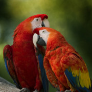 Macaws Prints - Love  Print by Joseph G Holland