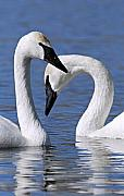 Trumpeter Photos - Love by Larry Ricker