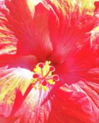 Florida Flowers Posters - Love of Hibiscus Poster by Chris Andruskiewicz
