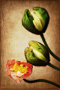 Angela Doelling AD DESIGN Photo and PhotoArt - Love poppies