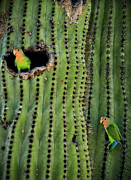 Faced Framed Prints - Lovebirds and the Saguaro  Framed Print by Saija  Lehtonen