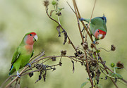 Lovebird Photos - Lovebirds at Play  by Saija  Lehtonen