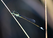 Damselfly Prints - Lovely Damselfly Print by Carol Groenen