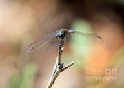 Dragonflies Art - Lovely Dragonfly by Carol Groenen
