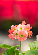 Pink Primroses Photos - Lovely flower by Amornthep Chotchuang