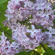 Lovely Lilacs Print by Anna Villarreal Garbis