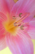 Pink Flower Prints Prints - Lovely Lily Print by Kathy Yates