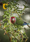 Lovebird Photos - Lovely Little Lovebird by Saija  Lehtonen