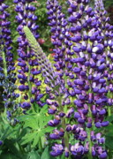 Flower Gardens Prints - Lovely Lupines Print by Carol Groenen