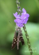 Nature Cards Photos - Lovely Moth on Dainty Flower by Carol Groenen