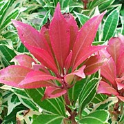 Mauve Photos - Lovely Pieris Plant by Mandi Ward