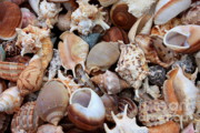Tans Prints - Lovely Seashells Print by Carol Groenen